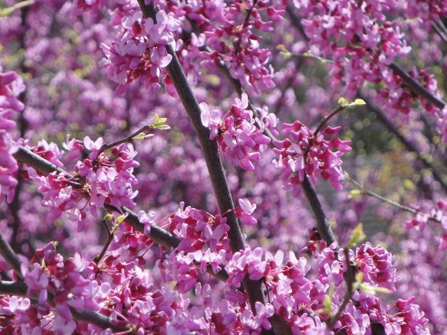 Redbud spring