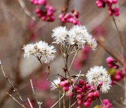 thistles-and-berries-in-winter1